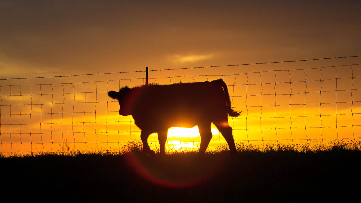 High Quality – Enjoy Local Premium Pasture Raised Beef